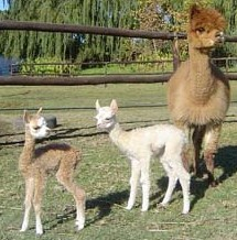 Helderstroom Alpacas, South Africa, www.helderstroomalpacas.co.za/index.php - Click to visit