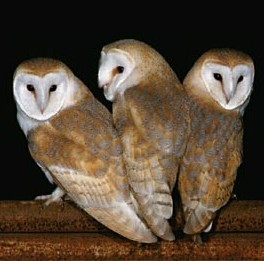 The Barn Owl Trust, www.barnowltrust.org.uk/index.html - Click to visit