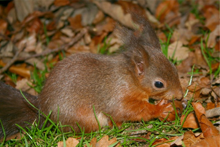 Pip - The diary of a red squirrel orphan
